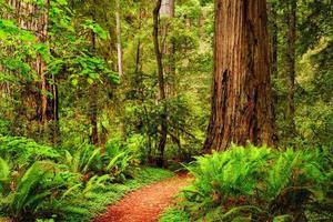 ett spår genom redwoodskogen i Jedediah Smith Redwood State Park, Kalifornien, USA foto