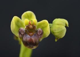 ophrys bombyliflora närbild foto
