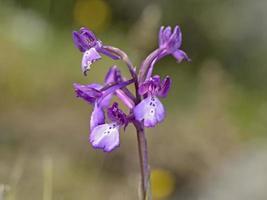 närbild av en borys orkidé foto