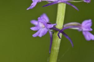 närbild av doftande orkidé foto
