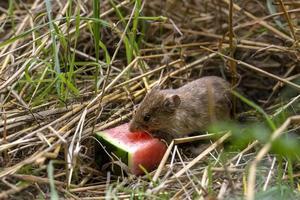 mus som äter en vattenmelon foto