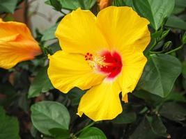 närbild av en vacker stor gul hibiskusblomning foto