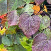 attraktiva löv av skogens pensé cercis canadensis foto