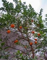 mandarinträd på gården till ett hus i den gamla staden Nicosia, Cypern foto