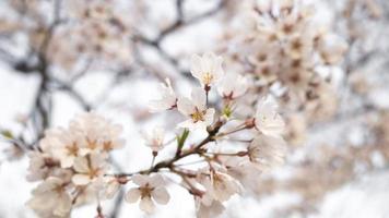 vacker persika trädblomning foto