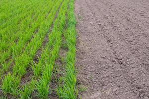 vårbearbetning av fältet för sådd av grödor, ung vete kopierar utrymme foto