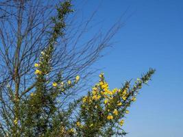 gorse blommar på vintern mot en klarblå himmel foto