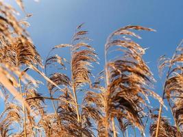 vass i gyllene solljus med en blå himmel foto