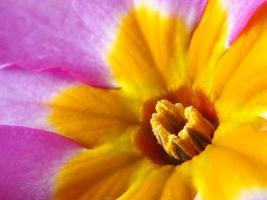makrofoto av en polyanthusrosa champagneblomma foto