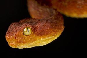 bush viper atheris squamigera foto
