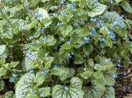 siberian bugloss brunnera macrophylla med brokiga blad och blå blommor foto