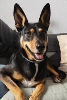 närbild smiley hund på soffan foto