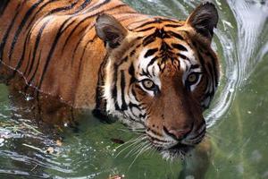 vuxen tiger på vatten foto