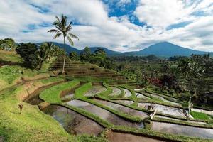 baliristerrasser. de vackra och dramatiska risfälten Jatiluwih i sydöstra Bali har utsetts till den prestigefyllda UNESCO-världsarvet. foto