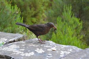 svart vild fågel som äter en daggmask foto