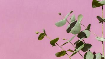eukalyptusväxt på rosa bakgrund foto