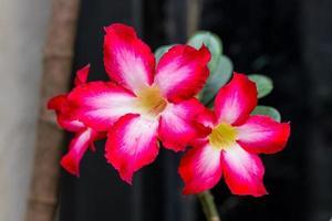 vacker blomma som kallas ökenros foto