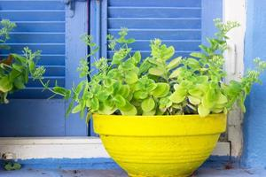 växter i gul blomkruka mot blått fönster foto