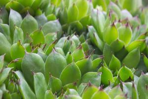 huseleek saftiga växter foto