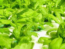 hydroponic gård för mat foto