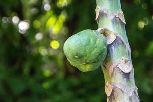 grön papaya utomhus i Rio de Janeiro foto