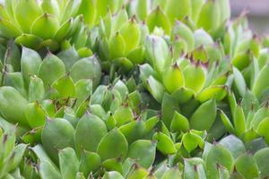 saftiga växter på nära håll foto