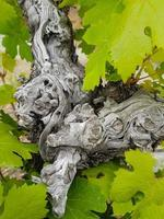 vinstockstam och frodiga bladdetaljer - abstrakt humör foto