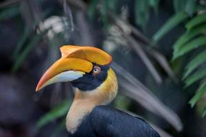 stor hornbill fågel foto