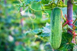 färska gurka grönsaker från gurka gården foto