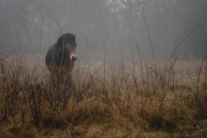 exmoor ponny i dimma foto