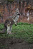 porträtt av röd känguru foto