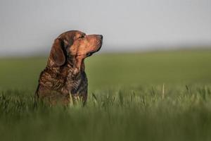 porträtt av alpin dachsbracke foto