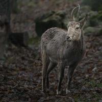 porträtt av siberian ibex foto