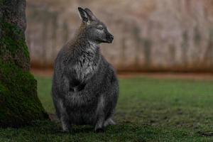 rödhalsad wallaby foto