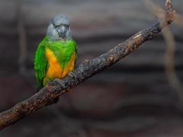 porträtt av senegal papegoja foto