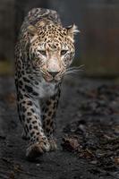 porträtt av persisk leopard foto