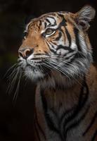 porträtt av sumatran tiger foto