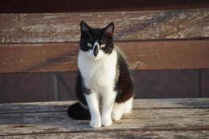 porträtt av en svartvit katt foto