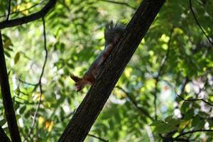 den röda ekorren kommer ner i stammen på ett träd foto