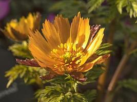 nyligen öppnande blomma av adonis amurensis beni nadeshiko foto