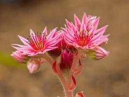 rosa blommor av sempervivum kramers spinrad saftiga foto