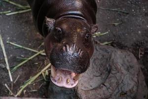 flodhäst öppnar munnen foto