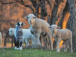 ungt lamm är nyfiken på gården foto
