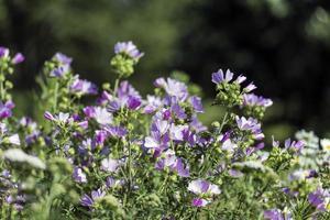 malva sylvestris är en art av malven i malvaceae-familjen foto