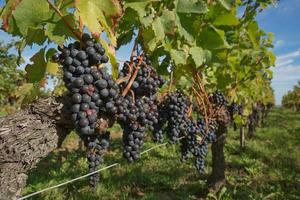 druvor i vingården i södra Frankrike i Provence foto