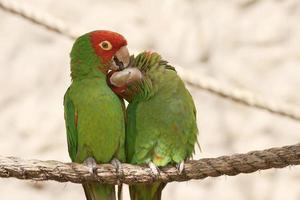 kyssar papegojor på ett rep foto