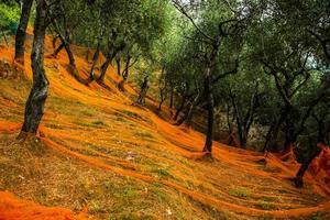 förberedelse för olivskörden foto