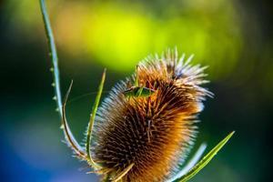 närbild av tistel med insekt foto