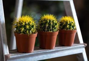 gula kaktusar i utställningen foto