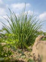 buskig gräslök i en örtbädd med sandstenar och en blå himmel ur ett lågvinkelperspektiv foto